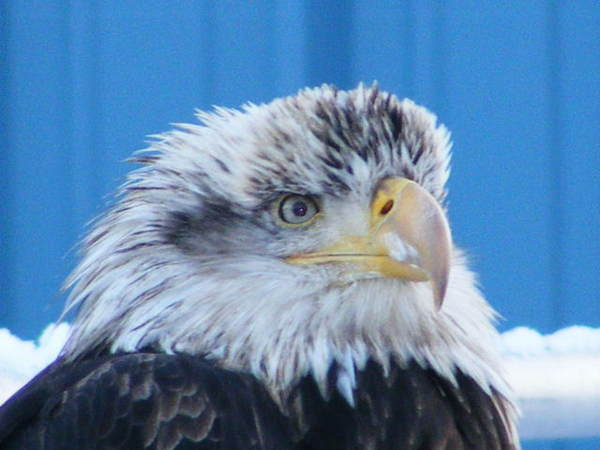 kodiak_island_alaska_bald_eagle