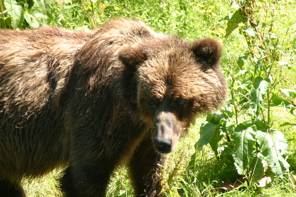 Hyder Alaska Bear Viewing