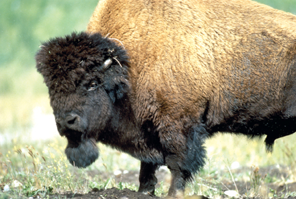 Fort Smith NWT Bison