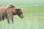 Bear Viewing Katmai National Park Alaska