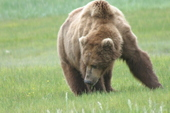 Katmai bear viewing
