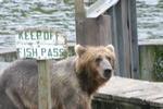 Bear Viewing Kodiak Island Alaska