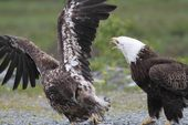 Valdez Alaska Bald Eagles