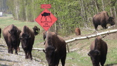 Buffalo on the Alaska Highway