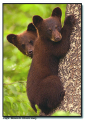 Alaska Inside Passage Bear Cubs